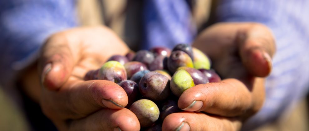 24-10-2017, Ramallah, Silwad, a handful of olives, EAPPI-RJ